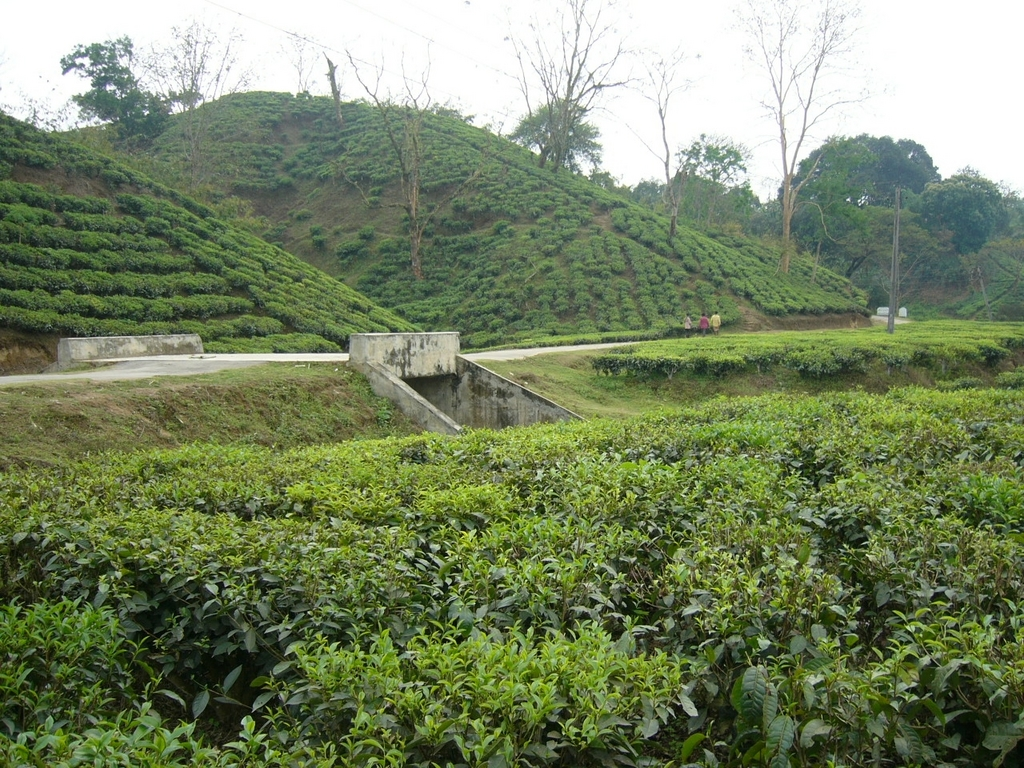 Tea plantation near Sri Mangal