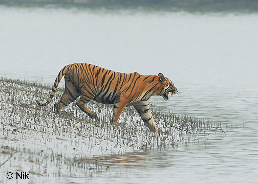 Tiger in Sundarban